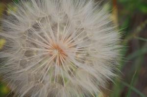 Dandelion_seed_head